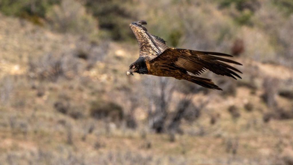 Large Birds of Prey in Crete