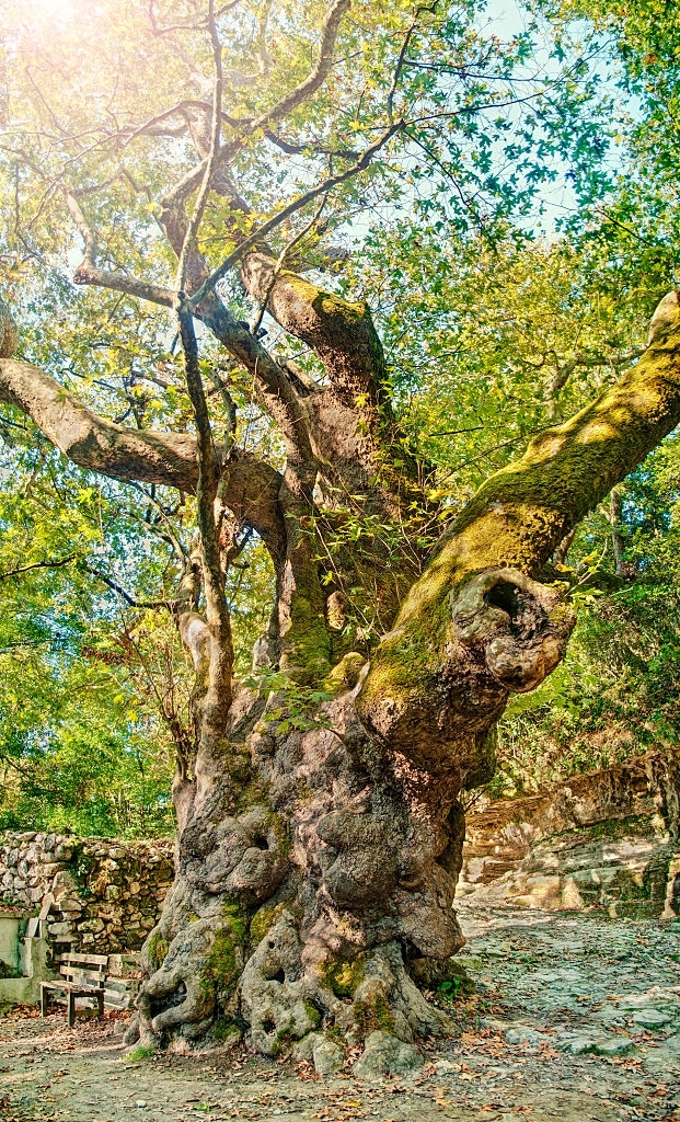 Huge 2000 year-old platanus tree in Ancient Lappa