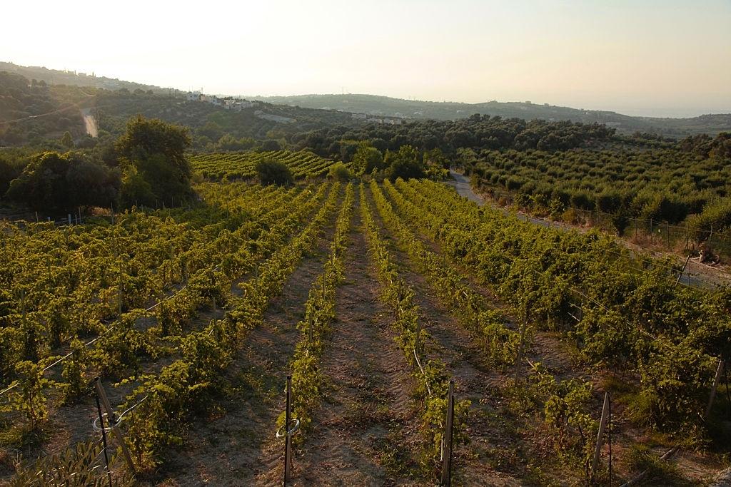 Vineyard, Green hills